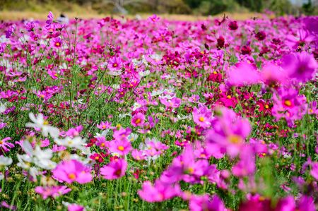 Pink Cosmos Field, Kaeng Khoi District, Saraburi, Thailand
