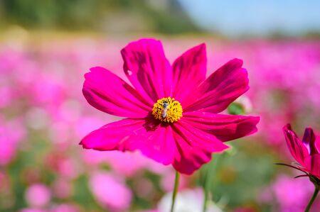 Close up of Pink Cosmos Field, Kaeng Khoi District, Saraburi, Thailand