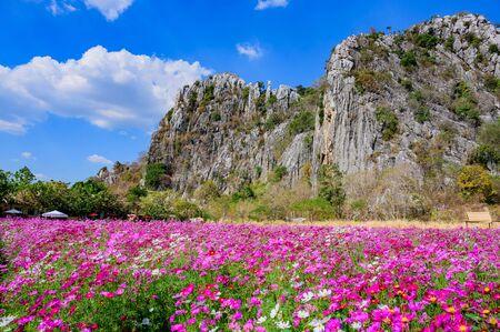 Landscape of Cosmos at Sirisamai Field, Kaeng Khoi District, Saraburi, Thailand 스톡 콘텐츠