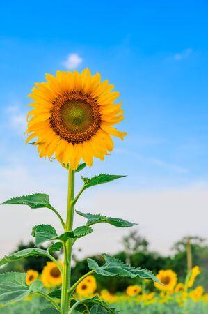 Close-up of sunflower and blue sky Banco de Imagens