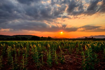 Landscape of sunflower field in the evening,The sunset in the sunflower field