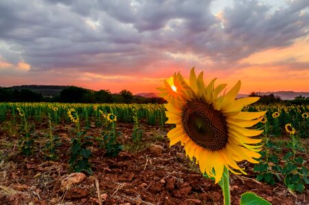 Close-up of sunflower in the evening,The sunset in the sunflower field Imagens