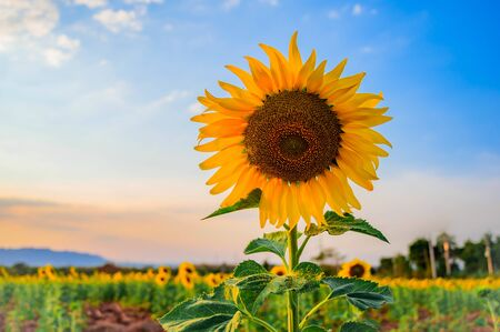 Close-up of sunflower and blue sky 스톡 콘텐츠