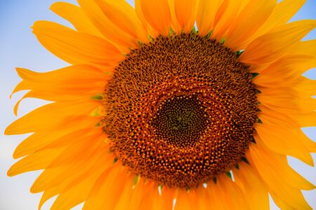 Close-up of sunflower in the morning Imagens