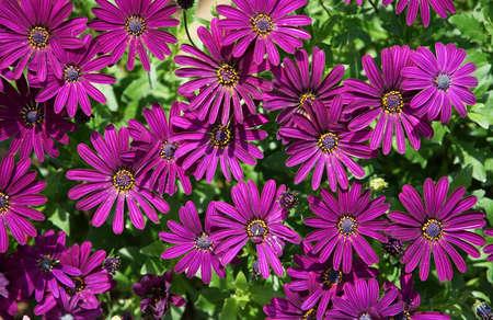 Many bright purple osteospermum flowers
