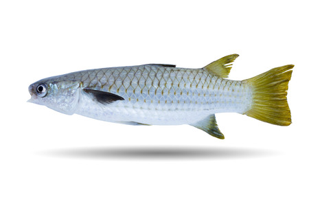 Diamond-scale Mullet (Liza vaigiensis) Also known as Diamond-scaled Mullet, Squaretail Mullet, Blackfin Mullet, Diamond-scale Grey Mullet, Large Scale Mulletfish isolated on white background