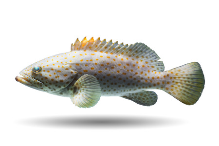 Also known as Rockcods, Cods, Hinds, Trouts, Orange-spotted Rockcod, Brown-spotted Rockcod, Gold-spotted Rockcod, Coral Cod, Reef Cod, Coral Trout
