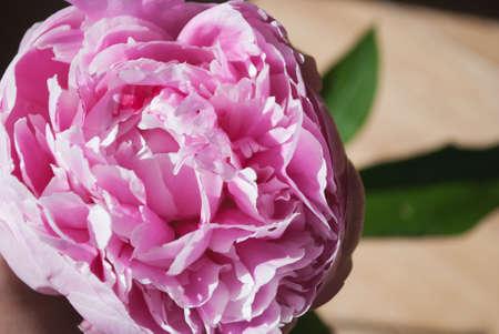 flatly: tender pink peony flower close up Stock Photo
