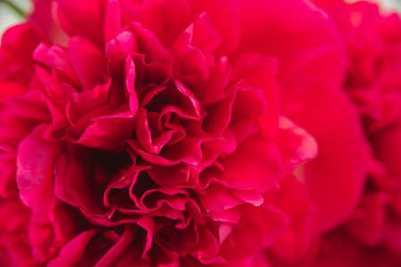 flatly: macro shoot of red peony bud