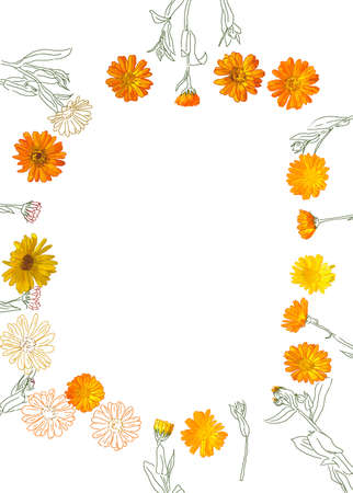 calendula: top view flat lay illustration of flowers herb calendula frame isolated on white background