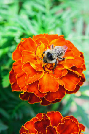 bee sit on orange marigold flower on green grass background as love of work concept
