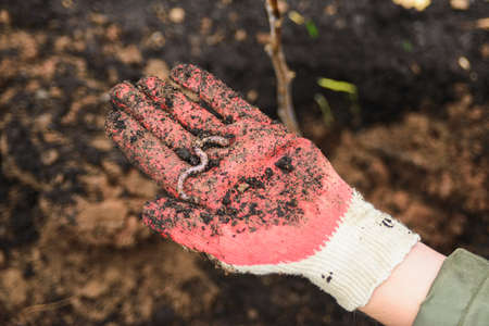 woman in protective glove holding on palm red earthworm, close up top view horizontal stock photo image background