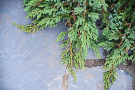 View from above of juniper branches on natural stone background, closeup horizontal stock photo image