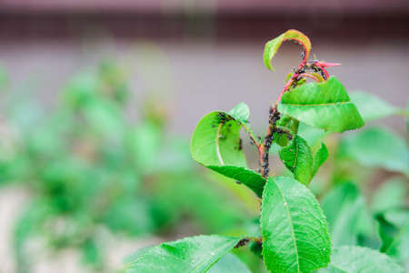 black aphids colony on stem and almond leaves, garden shrubs diseases concept, close up horizontal outdoors stock photo image Stock Photo