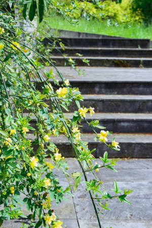 jasmine shrub branches with yellow blooming flowers on stone steps background, dendrological park Sochi Russia, vertical outdoors stock photo image Stock Photo