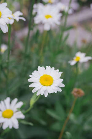 fresh white daisy on green meadow gras background, close-up top view, vertical outdoors stock photo image
