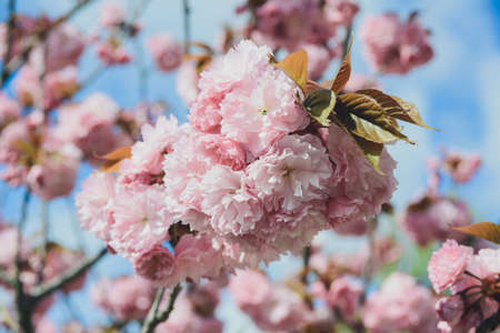 blossoming branch with bloom pink flower buds of cherry or sakura tree on blue sky background, horizontal outdoors stock macro photo image wallpaper