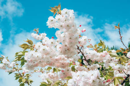 close-up blossoming branch with bloom white flower buds of cherry or sakura tree on blue sky background, horizontal outdoors stock photo image wallpaper