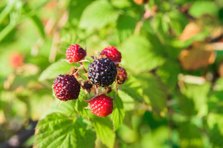branch of black raspberry or blackberry with unripe red and ripe black berries on green bush leaves background, close-up horizontal outdoors stock photo image wallpaper with copy space for text