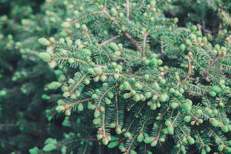 close-up branch with new young sprout of spruce tree shoot in spring, environmental protection and new life concept, horizontal macro stock photo image background