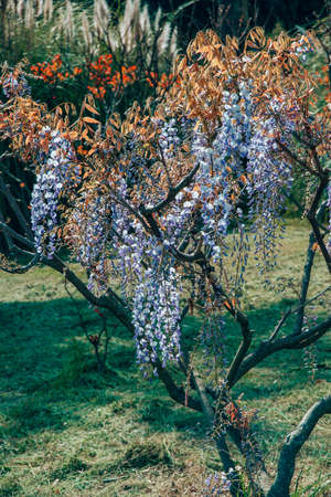 blossoming branches with bloom purple, violet, white, blue flower petals and orange and brown leaves of wisteria plant tree, vertical outdoors stock close-up photo image wallpaper