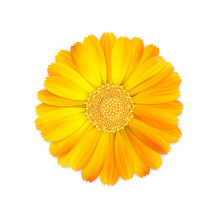 top view of realistic 3d orange and yellow calendula or marigold flower bud isolated on white background, stock vector illustration design element for design