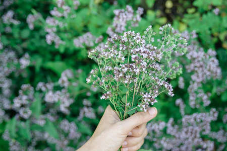 womans hand keep fresh cutting oregano plant bouquet close-up, horizontal lifestyle outdoors summer floral and botanical stock photo image