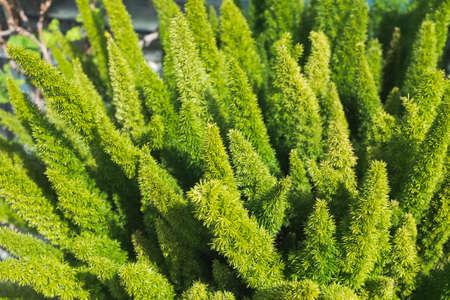 asparagus fern, plume asparagus, asparagus densiflorus or foxtail fern green stalks close-up, horizontal outdoors summer tropical floral and botanical stock photo image background Standard-Bild