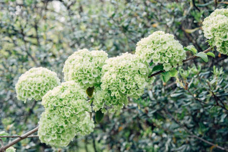 fresh blooming green and white flowers ball buds viburnum Buldenezh close-up on tree branches background, horizontal outdoors stock photo image photography wallpaper
