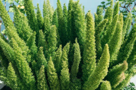 Asparagus densiflorus, asparagus fern, plume asparagus or foxtail fern green stems close-up, horizontal outdoors summer tropical floral and botanical stock photo image photography wallpaper Standard-Bild