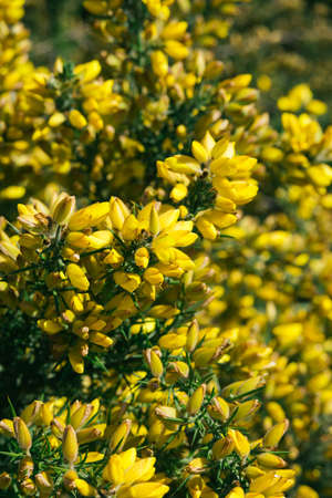 yellow flowers and green prickly branches of ulex europaeus or gorse, common gorse, furze or whin flowering plant close-up, horizontal outdoors botanical stock photo image photography background Standard-Bild