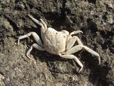 desiccated: Desiccated crab in a rocky seashore