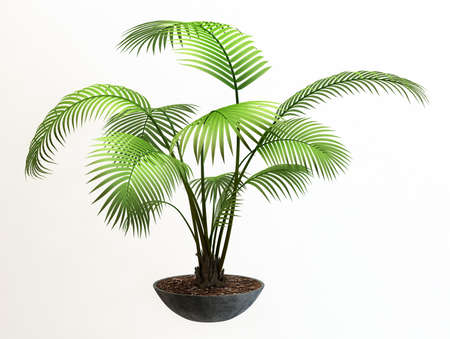 houseplant: Small decorative tree  Stock Photo