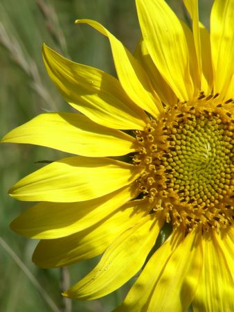 flower of wild sunflower grown in the city. Khakiv. Ukraine. photo