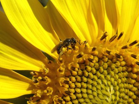 grew: bee collecting pollen from sunflower grew up in the city