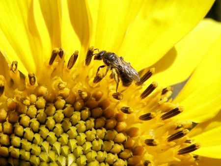 bee collecting pollen from sunflower grew up in the city photo