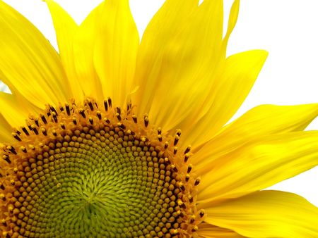 sunflower on white background photo