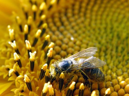 bee collecting pollen from sunflower photo