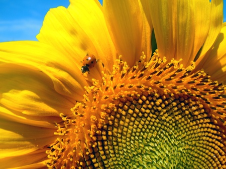 ladybug sitting on a sunflower  photo
