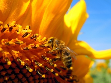 Bee on sunflower photo
