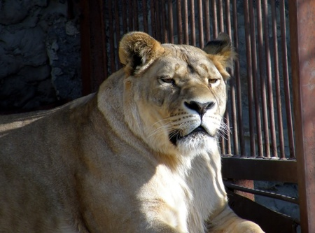 Lioness in zoo photo