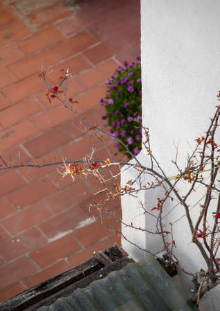 New red leaves appear on dry branches of a plant after winter. Garden on the terrace. Spring is coming.