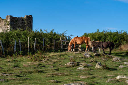Horses are grazing on the green meadow. Black and brown foals and mother horse eating grass Фото со стока