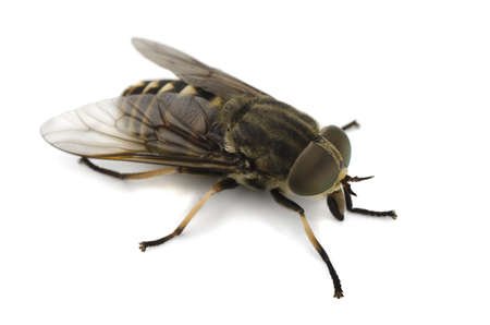 Horsefly isolated on a white background Stock Photo