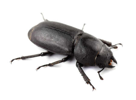 Female stag beetle isolated on a white background.  Stock Photo