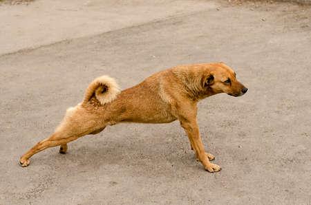 Stretching brown dog Stock Photo