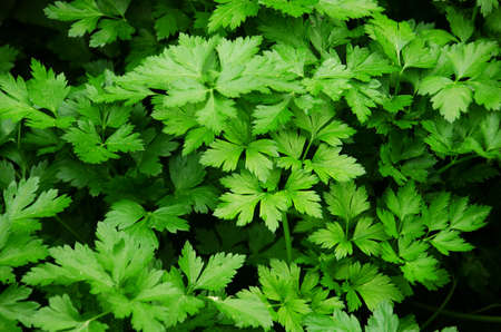 Fresh green leaves of a parsley photo