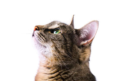 Tabby curious cat isolated over white background Stock Photo