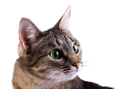 Tabby cat isolated over white background