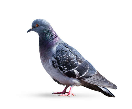 Gray pigeon dove isolated on a white background Stock Photo